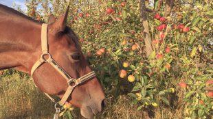 In Äpfeln, vor allem im Fallobst, verstecken sich gerne Wespen.