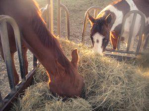 """Auf der Koppel wird in der """"Pferdevilla"""" Heu zugefüttert, sobald das Gras knapp ist."""