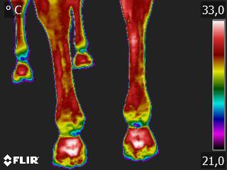 Thermografie-Aufnahme einer 9-jährigen Warmblutstute nach zwei Stunden Boxen-Ruhe, 20 Minuten Schrittreiten und 20-minütiger Arbeitsphase in allen Gangarten. Die Bein-Temperatur beträgt 30,3 Grad Celsius.