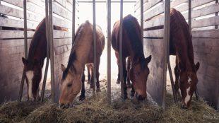 In den Futterständern können die Offenstall-Pferde das ganze Jahr über in Ruhe ihr Heu fressen.