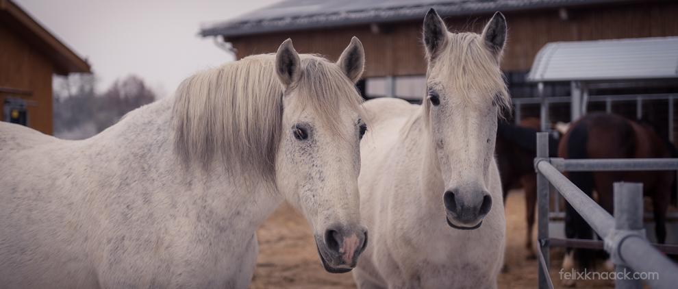 Gute Freunde, gute Laune: Pferde brauchen Artgenossen und gemeinsamen Auslauf, um sich wohl zu fühlen.