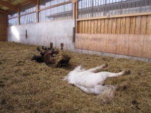 Genusspflege: Beim Wälzen werden Pferde auf natürliche Weise ihre überflüssigen Haare los. Foto: Sonja Schmid