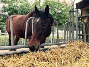 Stroh müssen Pferde besonders gut kauen und einspeicheln, weil es sehr viel Lignin enthält.