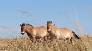 Am liebsten Gras: Die Schweife der Wildpferde in der Wüste Gobi geben Auskunft darüber, was sie fressen. Foto: Sturm/Vetmeduni Vienna
