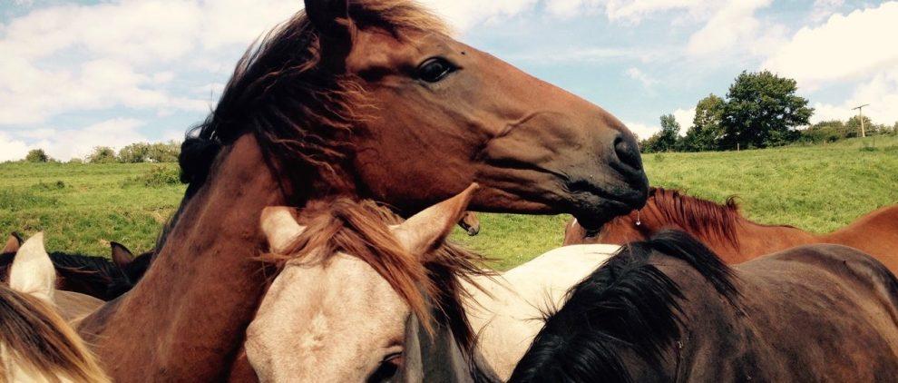 Auch in der Herde erkennen sich Pferde gegenseitig an ihrem persönlichen Geruch. Foto: Felsinger