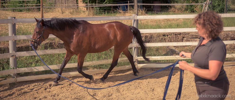 Beim Longieren in Dehnung müssen wir besonders auf den Pferderücken achten, weniger auf den Kopf.