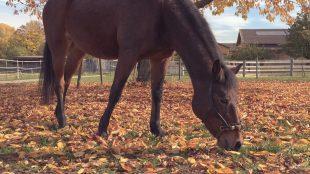 Laub, Rinde, Früchte: Pferde fressen nicht nur Gras, sondern lieben auch alles rund um den Baum.