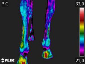 Thermografie-Aufnahme einer 9-jährigen Warmblutstute nach zwei Stunden Boxen-Ruhe und 10 Minuten Schrittreiten. Die Bein-Temperatur beträgt 25,2 Grad Celsius.