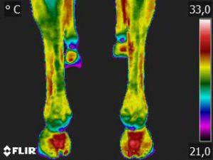 Thermografie-Aufnahme einer 9-jährigen Warmblutstute nach zwei Stunden Boxen-Ruhe und 20 Minuten Schrittreiten. Die Bein-Temperatur beträgt 28,7 Grad Celsius.