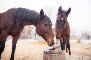 Pferde trinken lieber aus Schwimmertränken, die auch bei Kälte nicht einfrieren. Foto-Copyright: Schmid