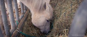 Hochwertiges Heu ist das Grundfutter für jedes Pferd und wird je nach Leistung durch Ergänzungsfutter komplettiert.
