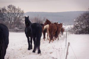 Auch im Winter muss der Boden auf der Weide frei von Löchern sein, damit die Pferde nicht stolpern.