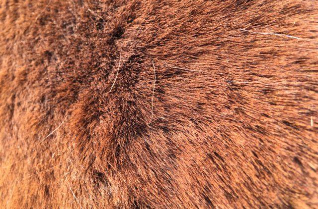 Mayas Winterplüsch im beginnenden Fellwechsel: Erst fallen einzelne Haare aus, später sind es ganze Haarplatten. Foto: FREUNDPFERD