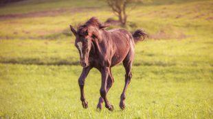Laufen, Buckeln, Fressen: Fohlen erproben auf der Weide spielerisch, was sie fürs Pferdeleben brauchen.