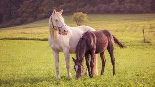 Das gesunde Dosieren von Gras und Zusatzfutter sind wichtig, damit Pferde auf der Weide gesund bleiben.