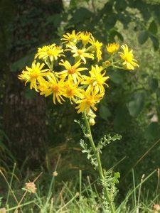 Kreuzkraut (Senecio spec.) auf der Pferdeweide: Typisch sind die für Korbblütler typischen Blütenkörbchen mit Röhren- und Zungenblüten.
