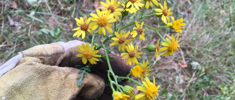 Kreuzkraut beim Ausstechen nur mit Handschuh anfassen: Die Pyrrolizidin-Alkaloide sind auch für Menschen giftig.