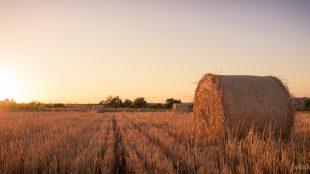 Futter und Bett für Pferde: Bevor das Stroh zu Ballen gepresst wird, muss ein bis zwei Tage die Sonne drauf scheinen. Foto: Felix Knaack
