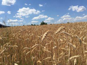 Weizenstroh ist die häufigste Strohsorte und eignet sich als Futter und Einstreu für Pferde. Foto: FREUNDPFERD