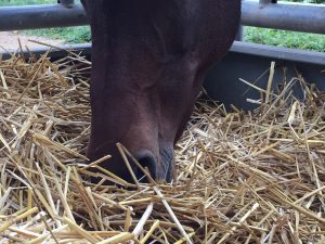 Weil Pferde beim Fressen mit den Nüstern tief ins Stroh tauchen, muss es hygienisch sein. Sonst haben wir bald ein Husten-Problem. Foto: FREUNDPFERD