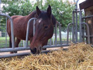 Aus Strohraufen mit abgeteilten Fressplätzen können Pferde das Stroh sauber und sicher fressen. Foto: FREUNDPFERD