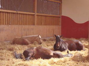 Ruhe sanft: Auf Stroh liegen Pferde am liebsten, wie Forscher herausfanden – vorausgesetzt, es ist trocken und sauber. Foto: Pferdevilla Schmid