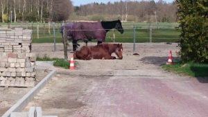 Mal ne Fresspause machen und dösen: zwei von Svenjas Pferden.