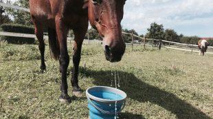 Prost Mahlzeit: Maya probiert auf der Weide ihren neuen Wassereimer aus. Der ist aus Gummi, lässt sich flach zusammenfalten und mitnehmen. Praktisch, finden wir. Infos zum Falt-Eimer gibt's hier auf der Website meines Blog-Partners Waldhausen. Foto: Felsinger