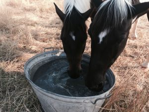 Die Pferde meiner Freundin Silke stehen auf Tag-und-Nacht-Koppeln. Zinkwannen, die täglich frisch gefüllt werden, finden sie klasse zum Nase tauchen. Foto: Felsinger
